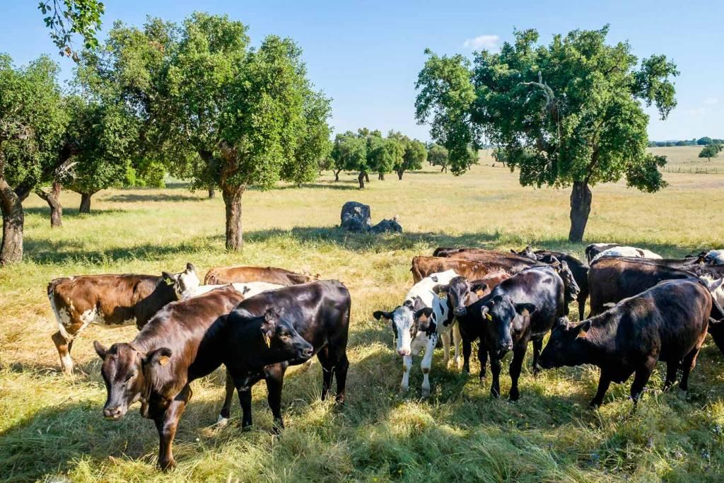 alentejo gado bovino