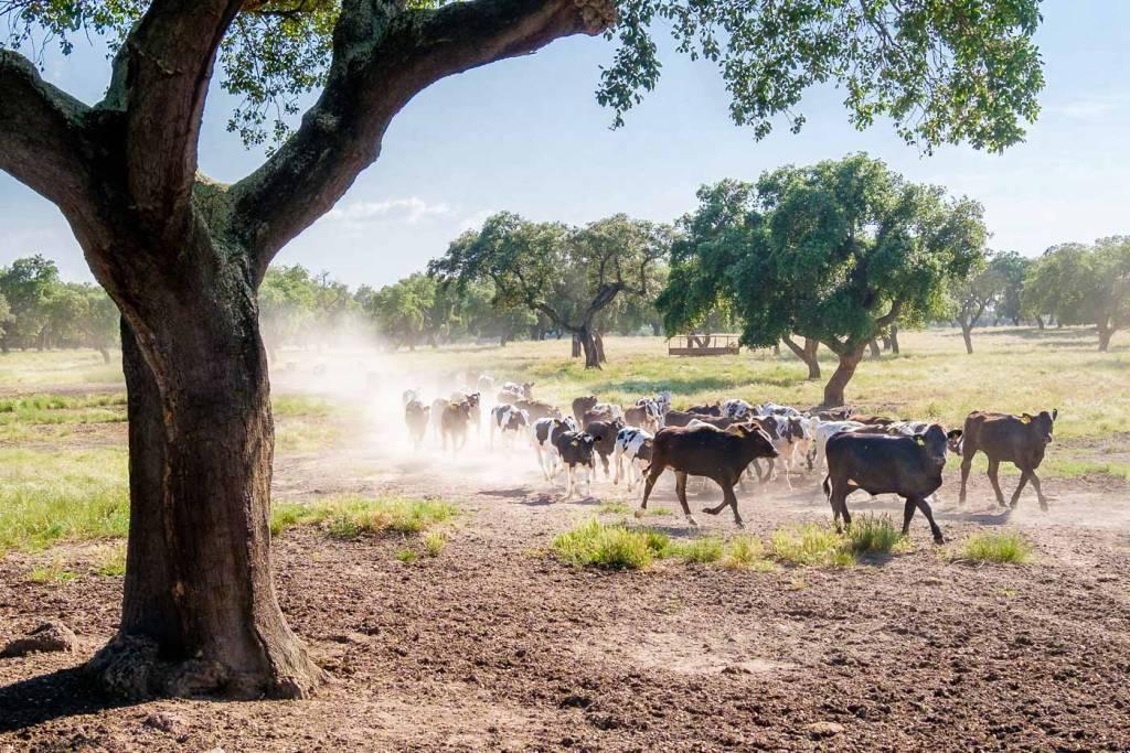 gado bovino Alentejo