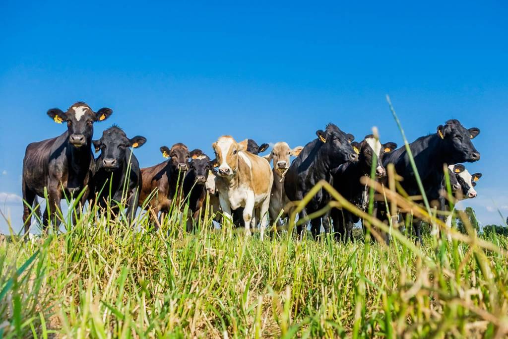Alentejo vacas