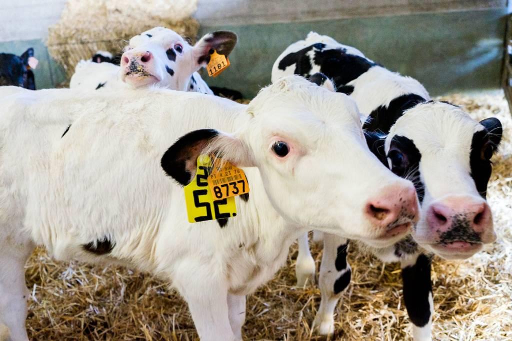 Alentejo vitelos