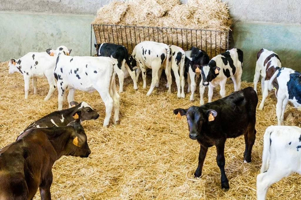 vitelos vacaria alentejo